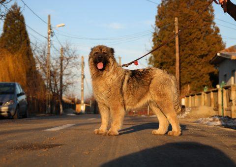 femelă Ciobănesc Caucazian campioană