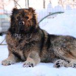 câine Ciobănesc Caucazian