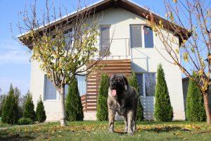 Femela Ciobanesc Caucazian pazeste casa