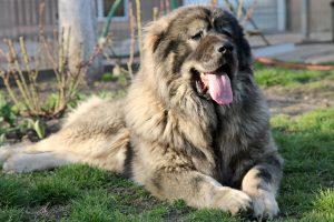 Beautiful Caucasian Shepherd