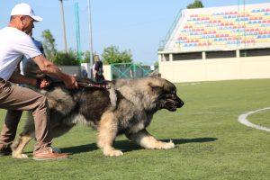 Caucasian Shepherd Contest - Ken