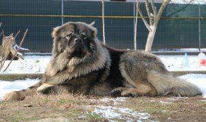 The Big Ken - Big Caucasian Shepherd