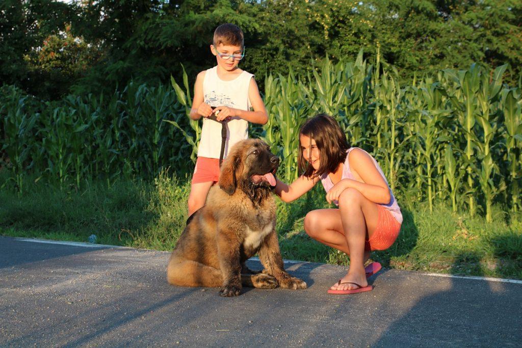 socializarea cu ciobanescul caucazian