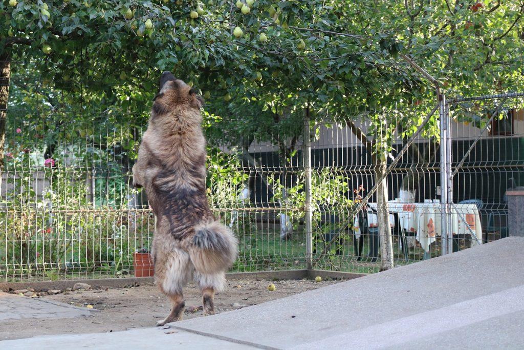 alimentatie ciobanesc caucazian